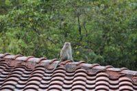 在屋顶上的猴子
